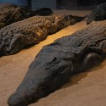 Ve svatyni se našly tisíce mumií krokodýlů, které byly obětovány Sobekovi.