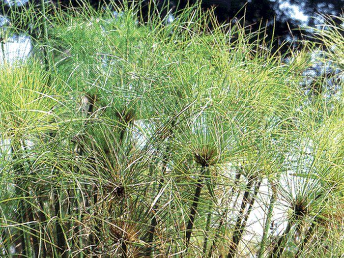 Papyrus se pěstoval zejména v Deltě Nilu